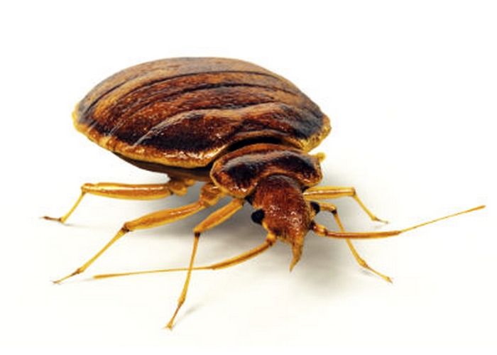 Bed-Bugs Control Services